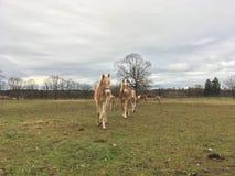 Chevaux de Haflinger Photos libres de droits