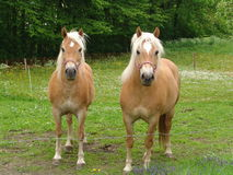 Chevaux de Harflinger Photos stock