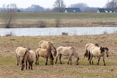 Chevaux de Konik photo stock