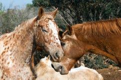 Chevaux de l'amour deux Image libre de droits