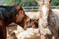 Chevaux de l'amour deux Photos stock