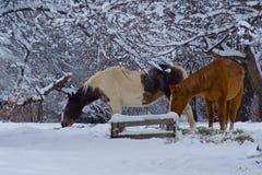 Chevaux de l'hiver près Photographie stock libre de droits