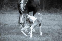 Chevaux de mère et de chéri 4 heures après sa naissance photo libre de droits