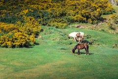 Chevaux de marche Free sur les collines de la baie de Rhossili, Pays de Galles Images stock