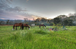 Chevaux de montagne de Milou Photo stock
