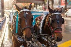 Chevaux de phaéton Transporteur de cheval photo libre de droits