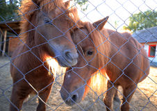 Chevaux de poney Photo stock