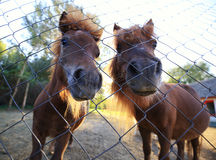 Chevaux de poney Images stock
