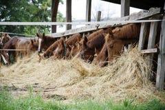 Chevaux de pur sang dans le pré mangeant l'herbe sèche Images stock