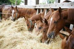Chevaux de pur sang dans le pré mangeant l'herbe sèche Image libre de droits