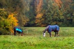 Chevaux de pure race avec des manteaux mangeant l'herbe entourée par le tre d'automne photographie stock