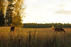 Chevaux de rangement Free sur le champ jaune d'automne sous l'éclat du soleil le soir Région de Moscou, Russie Image libre de droits