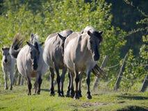 Chevaux de Semi-horsed Tarpany sur la rivière de Biebrza Photographie stock
