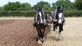 Chevaux de Shire à une exposition de pays de jour ouvrable en Angleterre Images stock