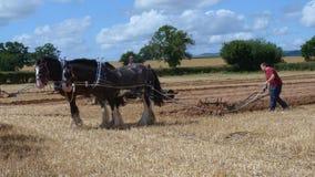 Chevaux de Shire à une exposition de pays de jour ouvrable en Angleterre Images libres de droits