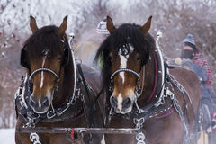 Chevaux de trait Image stock