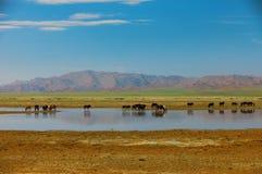 Chevaux de troupeau sur l'endroit d'arrosage La Mongolie Altai Photo stock