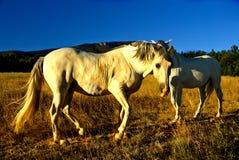chevaux de zone photo libre de droits