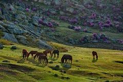 Chevaux des montagnes d'Altai image stock