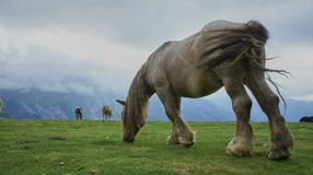Chevaux des Pyrenees 2. Mountain Horses of the French Pyrenees Stock Images