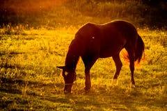 Chevaux domestiques sur le pâturage au coucher du soleil Images libres de droits