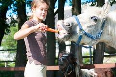 Chevaux drôles affamés mangeant la carotte délicieuse ! Images libres de droits