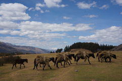 Chevaux du Pérou - du Cusco portant le foin photographie stock libre de droits