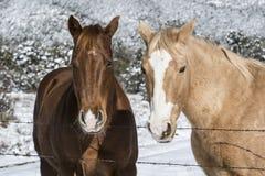 Chevaux du portrait deux d'hiver Images libres de droits