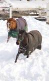 Chevaux en hiver Photo stock