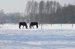 Chevaux en hiver Photos stock