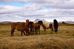 Chevaux en Islande Photographie stock libre de droits