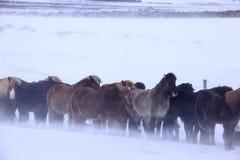 Chevaux en l'Islande, la neige froide et le vent Image libre de droits
