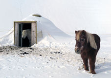 Chevaux en Suisse Photos libres de droits