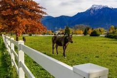 Chevaux et barrière blanche sur un ranch en Colombie-Britannique, Canad Photo stock