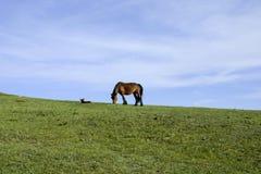Chevaux et ciel et herbe verte Photographie stock libre de droits
