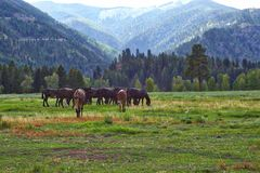 Chevaux et mules, Rock Creek, Montana Photographie stock libre de droits