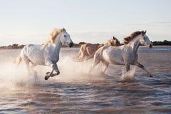 Chevaux fonctionnant dans l'eau Image libre de droits