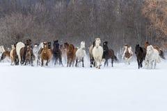 Chevaux fonctionnant dans la neige Image stock