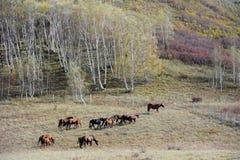 Chevaux fonctionnant dans la prairie d'automne avec des arbres de bouleau Photo libre de droits