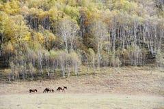 Chevaux fonctionnant dans la prairie d'automne avec des arbres de bouleau Image stock