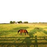 Chevaux frôlant dans le domaine Photo stock