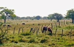 Chevaux frôlant dans le pâturage Image libre de droits