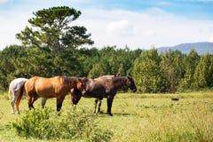 Chevaux frôlant dans le pâturage en Géorgie du nord-ouest photo libre de droits