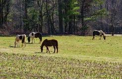Chevaux frôlant dans un domaine Photo stock