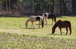 Chevaux frôlant dans un domaine - 2 Image libre de droits