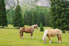 Chevaux frôlant dans un pré de montagne Photo libre de droits