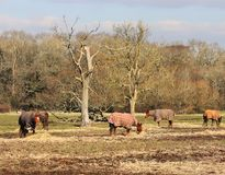 Chevaux frôlant en Angleterre rurale Photos stock