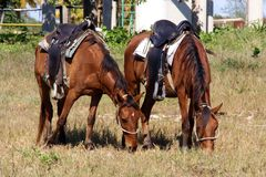 Chevaux frôlant l'herbe au Cuba image libre de droits