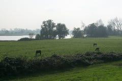 Chevaux frôlant sur la pelouse parmi les arbres par la rivière pendant le matin photos libres de droits
