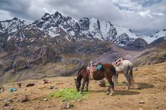 Chevaux frôlant sur le plateau de montagne, les Andes image stock